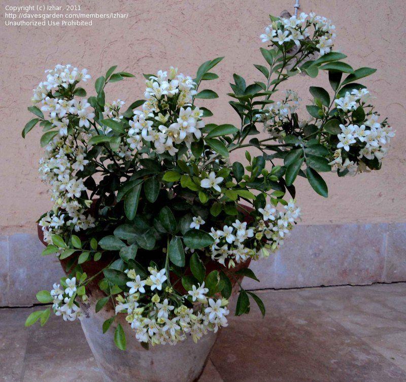 dwarf orange jasmine (very fragnant) Экзотические цветы
