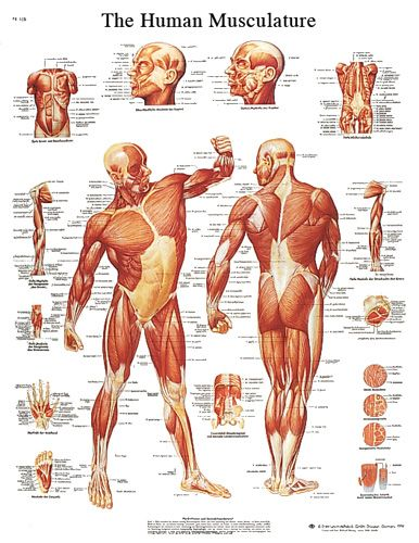 I aware you on the importance of developing your hip structure - muscle chart template