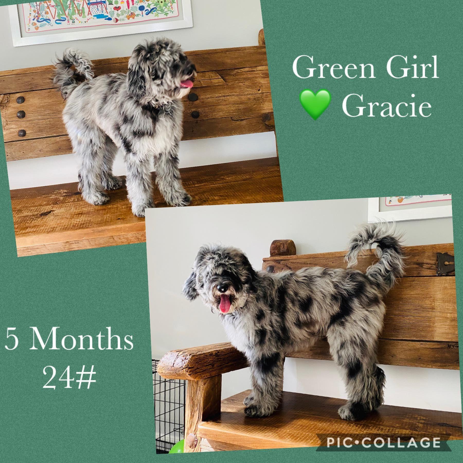 Mini Merle Sheepadoodles In 2020 Sheepadoodle Goldendoodle Puppies For Sale