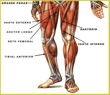 Pin Em Anatomia Sistema Muscular