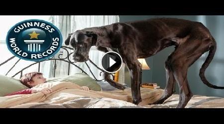 Muore Zeus il cane più alto del mondo