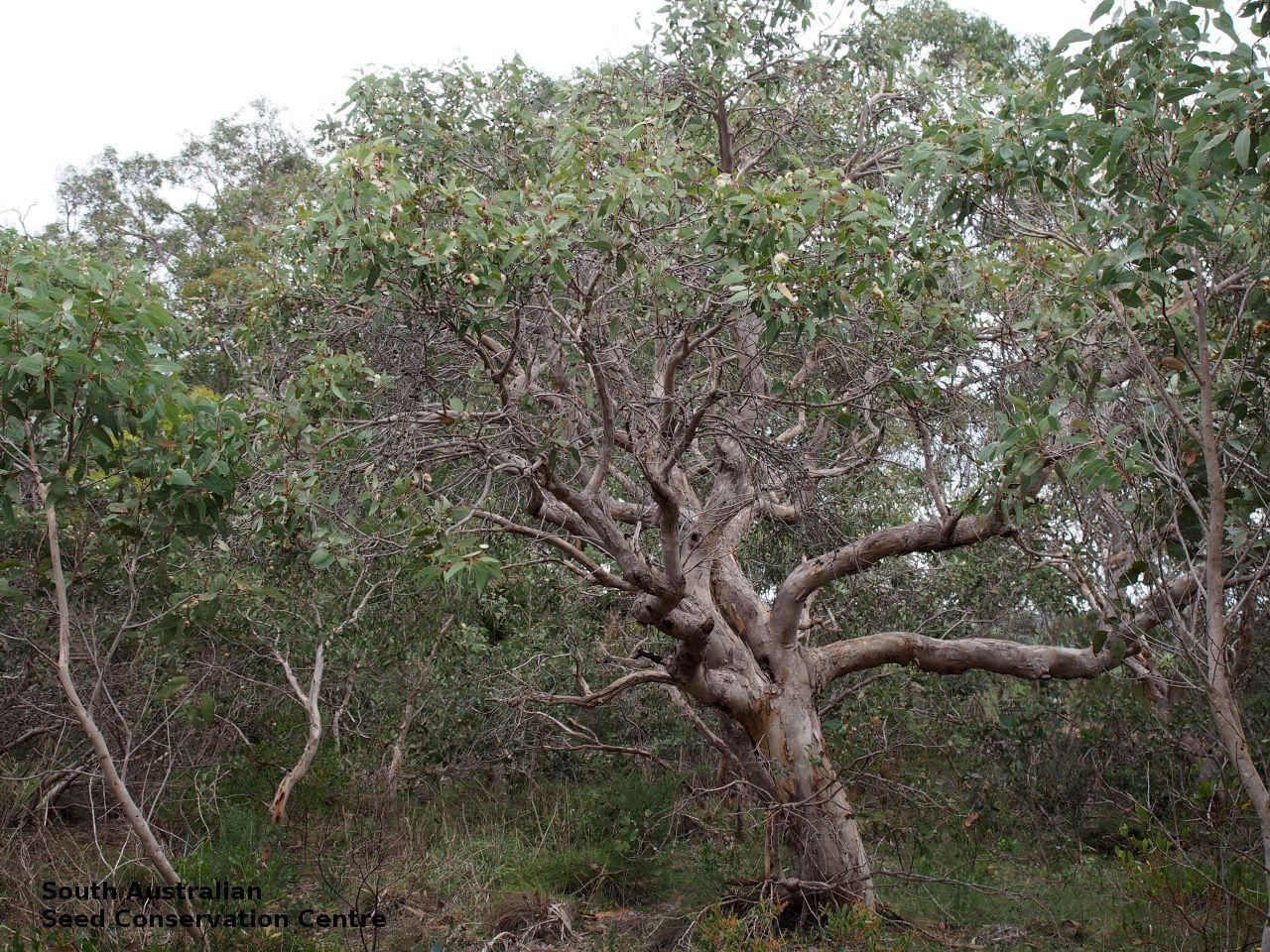 Eucalyptus Cosmophylla Multi Stemmed Tree To 5 M High Or Less