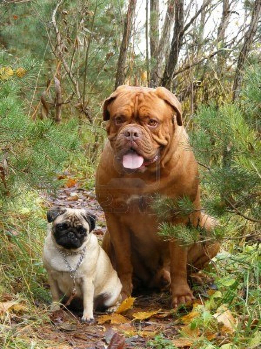 Stock Photo French mastiff dog, White pug, Mastiff puppies