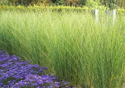 Hardy in zones 5 9 this attractive ornamental grass with fine silver hardy in zones 5 9 this attractive ornamental grass with fine silver green blades will grow 6 to 8 feet tall and 3 to 5 feet wide workwithnaturefo