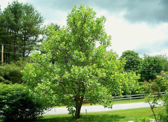 10 Of The Best Trees For Any Backyard Shade Trees Backyard