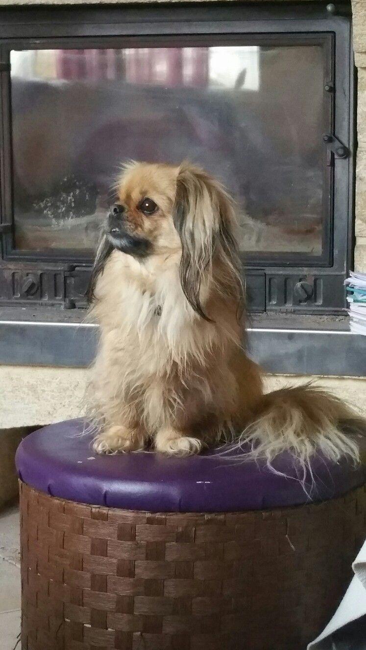 Pin by dmfoley on Tibetan Spaniels Dog life, Tibetan