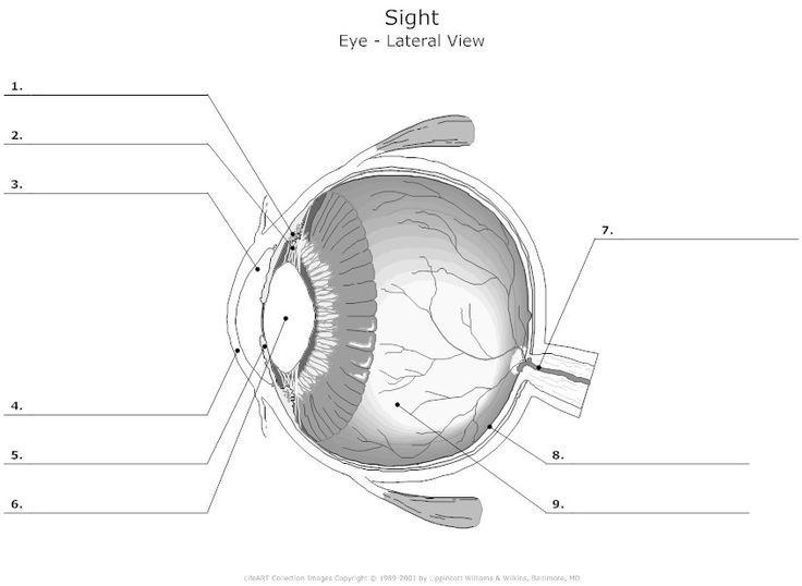blank eye diagrams - Bing Images: | Human eye diagram, Eye ...