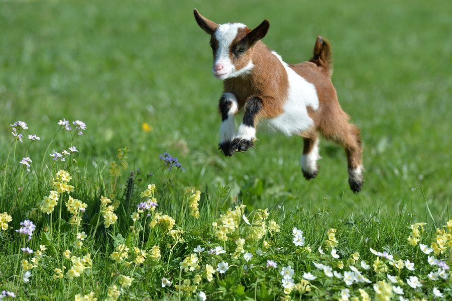 Reddit The Front Page Of The Internet Cute Goats Baby Goats