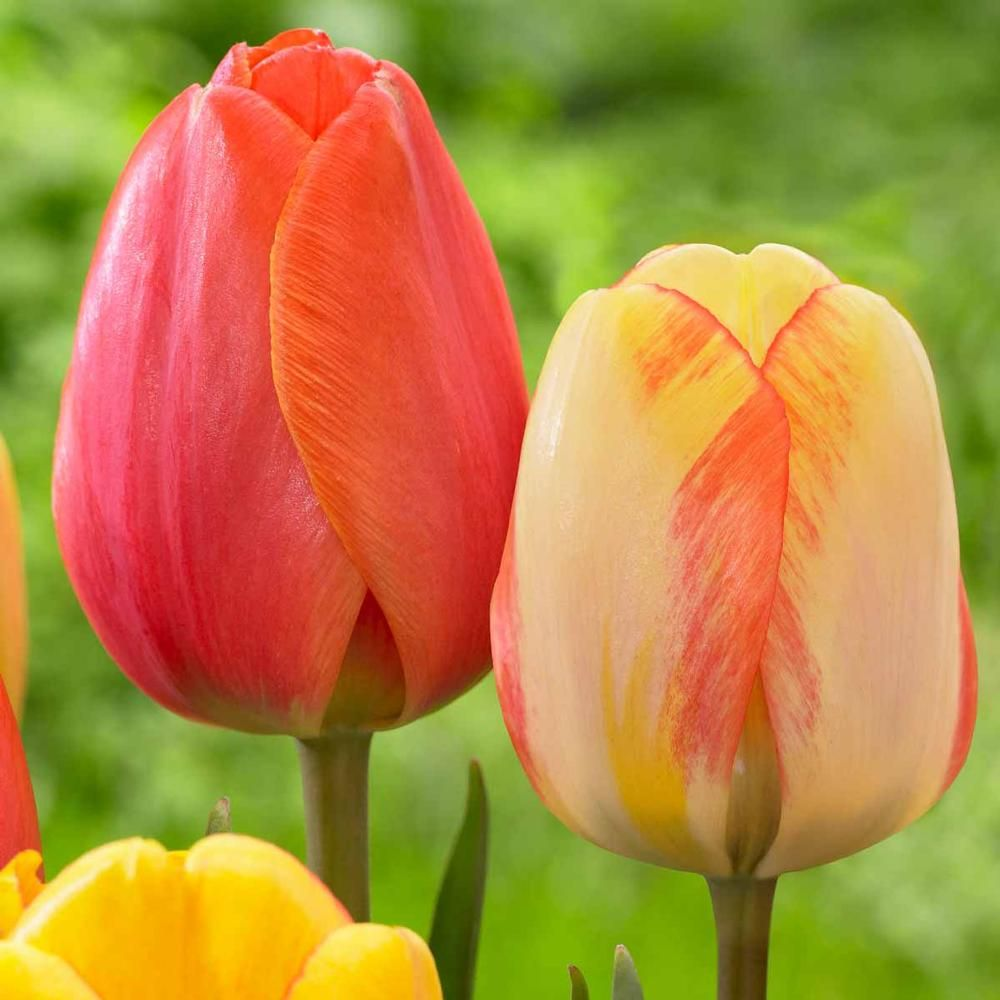 Tulip Ad Rem And Tulip Beauty Of Spring Bulb Flowers Growing Tulips Spring Blooming Flowers