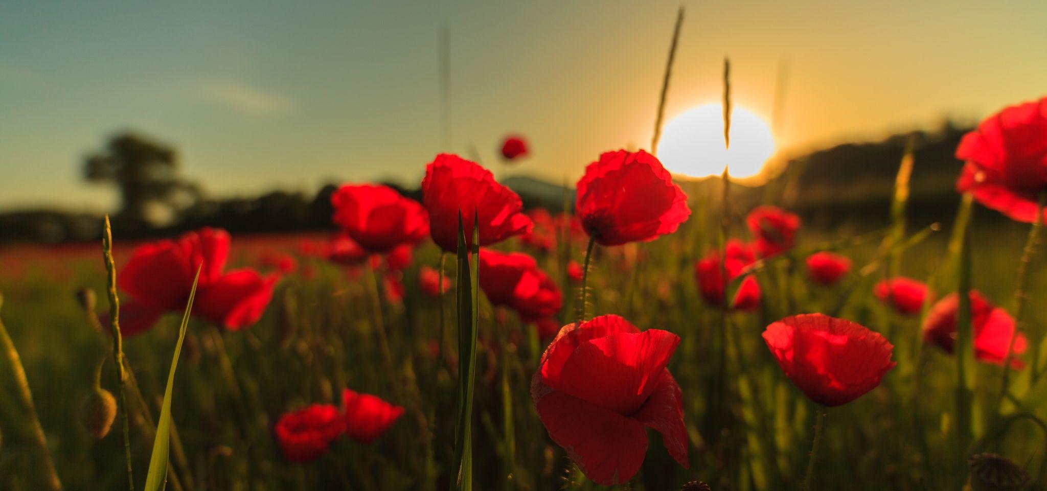 Field Of Poppies At Sunrise Mohnblumenfeld Mohnblume Mohn Blumen