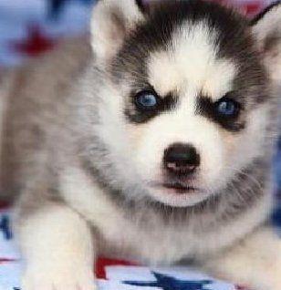 Amazing Wolf Cross Wolf Hybrid Puppy For Sale Near Las Vegas