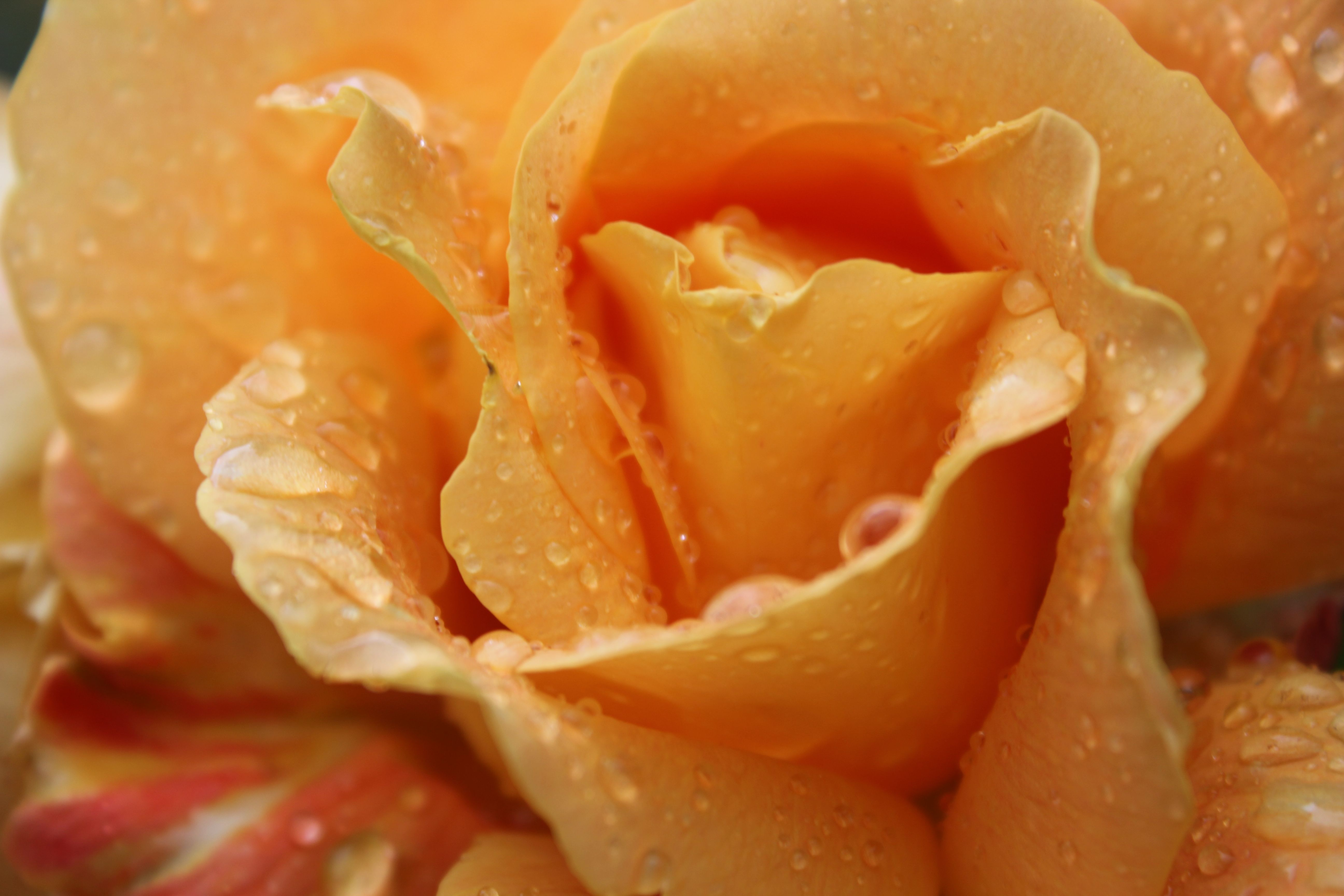 inside the orange rose