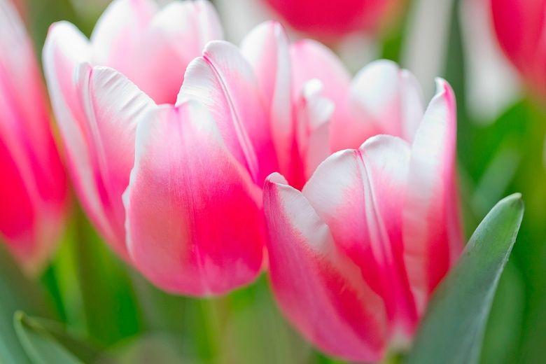 Rosa wei e tulpen wallpaper for girls only pink wallpaper wei e tulpen rosa und tulpen - Rosa weiay gestreifte tapete ...