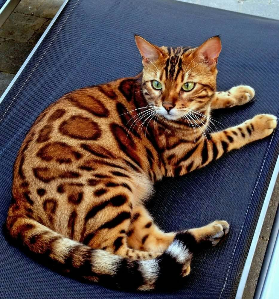 Bengal female Delilah Pretty cats, Cats, Kittens cutest