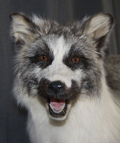 Canadian Marble Fox Sly Fox Animals Animals Beautiful