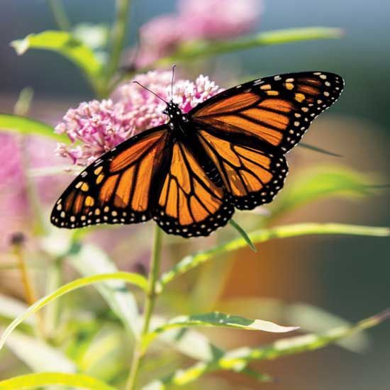 Milkweed and the Monarch is part of Milkweed, Milkweed seeds, Butterfly plants, Butterfly weed, Garden insects, Butterfly garden - Growing milkweed to attract and raise monarch butterflies is an easy and rewarding way to give nature a helping hand, and to restore the declining monarch populations