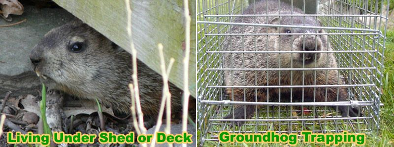 How to Trap a Groundhog Under the Shed or Deck Groundhog