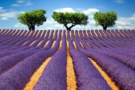 lavender fields in provence - Google Search