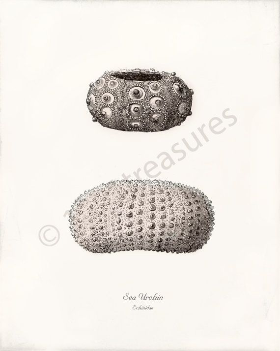Antik-Sea Urchin Kunstdruck  Seeigel  Echinidae  von 1001treasures