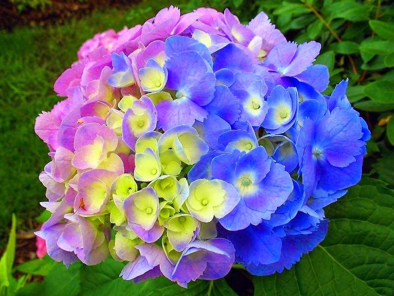 Hortensias violetas buscar con google hortensias - Cuidado de las hortensias ...