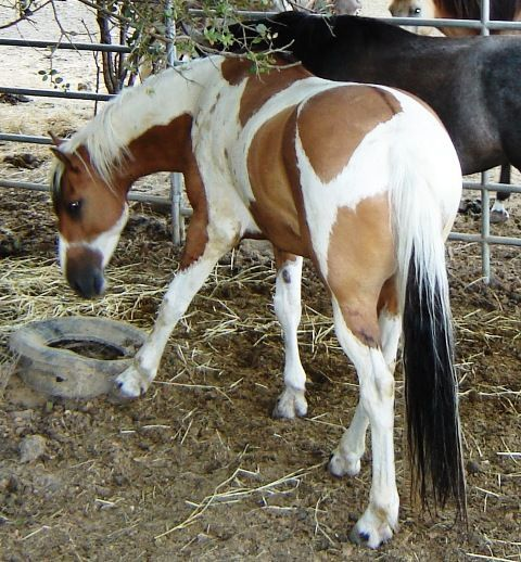 Image result for Runamuk Ranch Paint Horses - Sunday Sailor