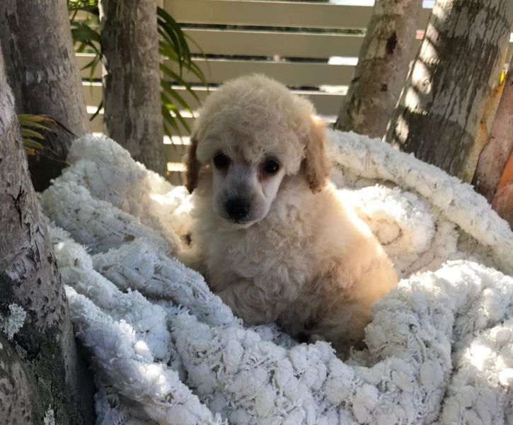 Toy Poodle Puppies Dogs & Puppies Gumtree Australia