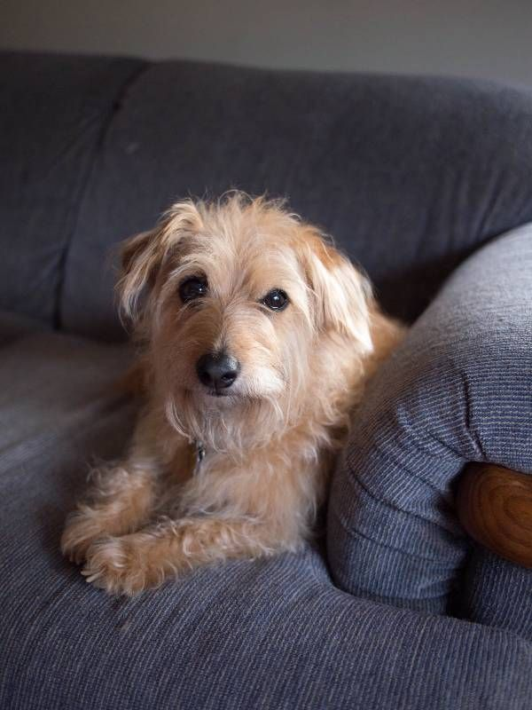 Lost Dog Cairn Terrier In Andover Ma Pet Name Sophie Id