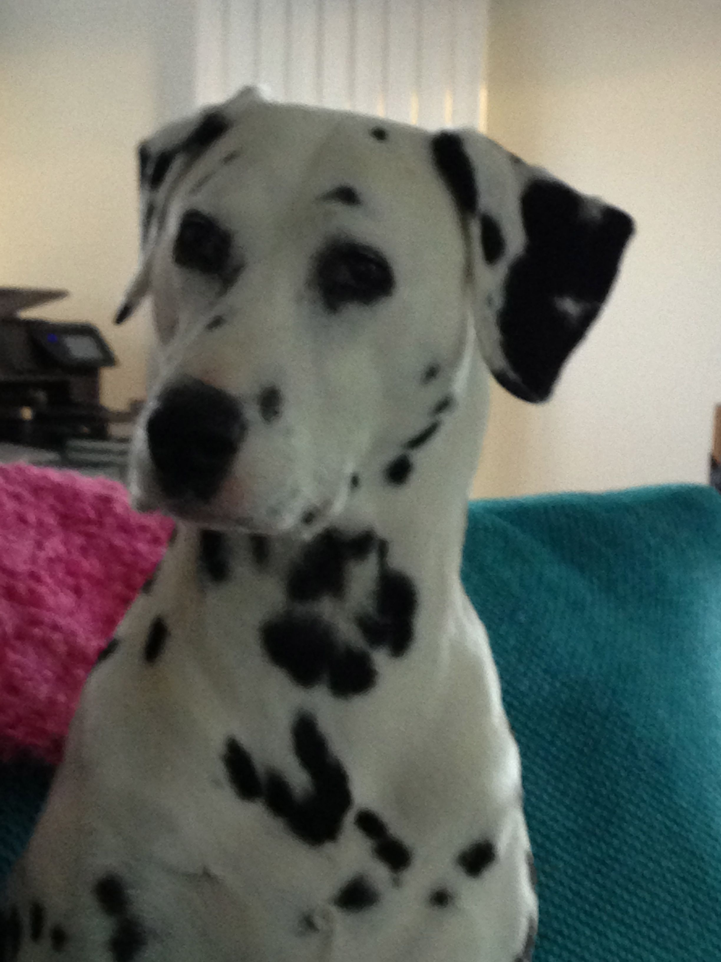 Darcey a beautiful deaf dalmatian. Adopt a deaf dalmatian