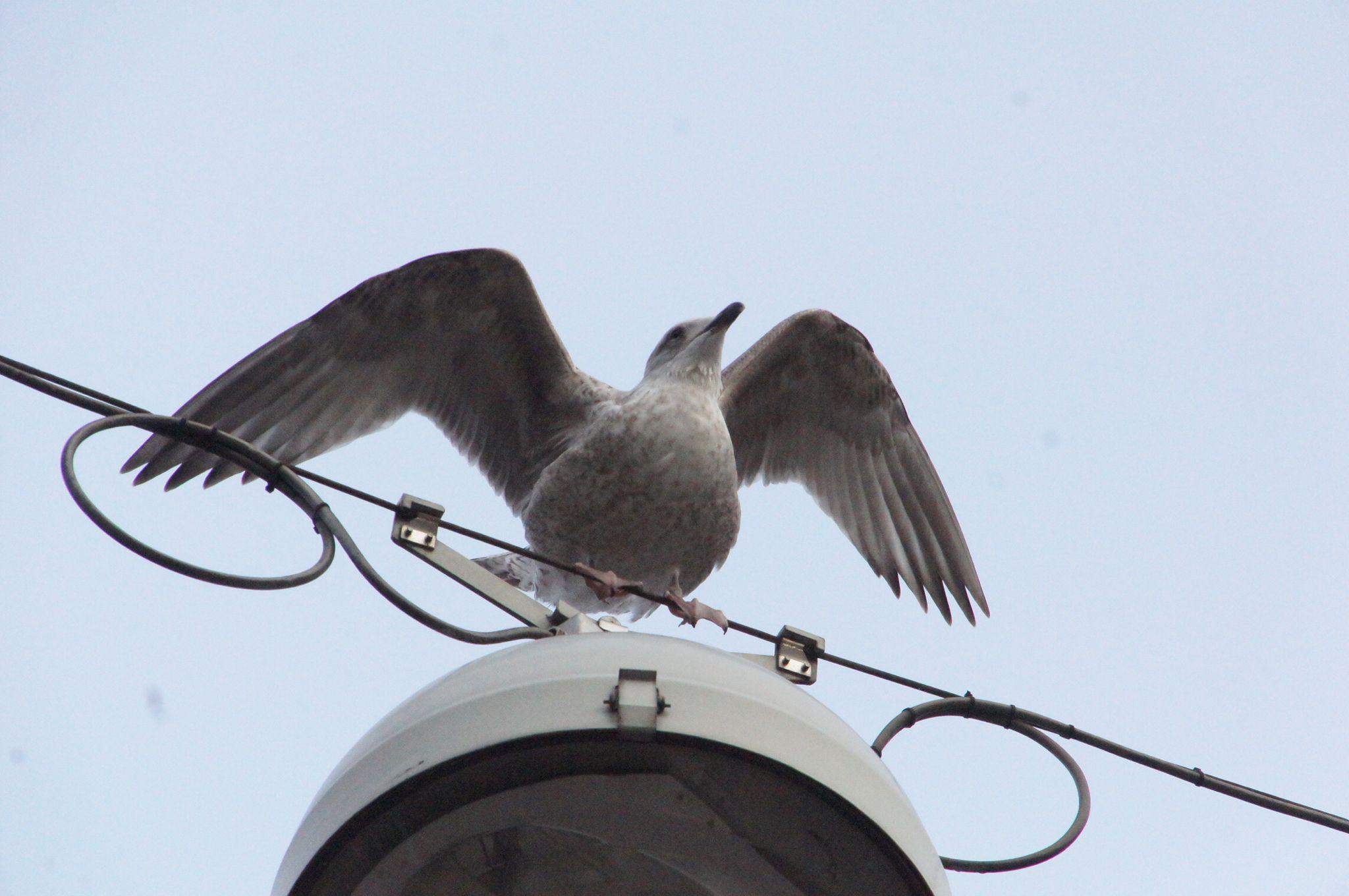 魚鷗 亞成鳥