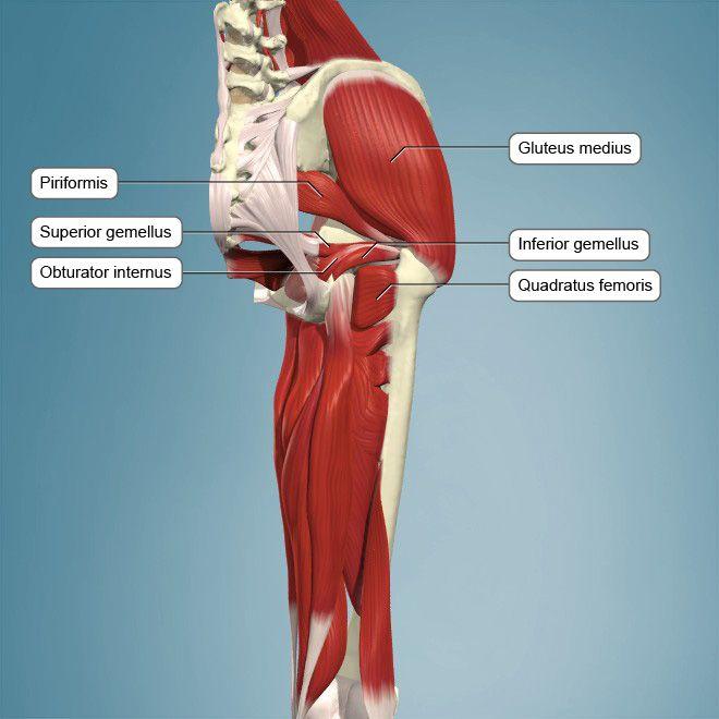 Síndrome del músculo piriforme | Cadera | Pinterest | El musculo y ...