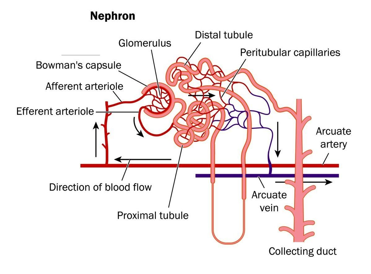 Blood Flow In Nephron Afferent Arteriole And Efferent Arteriole