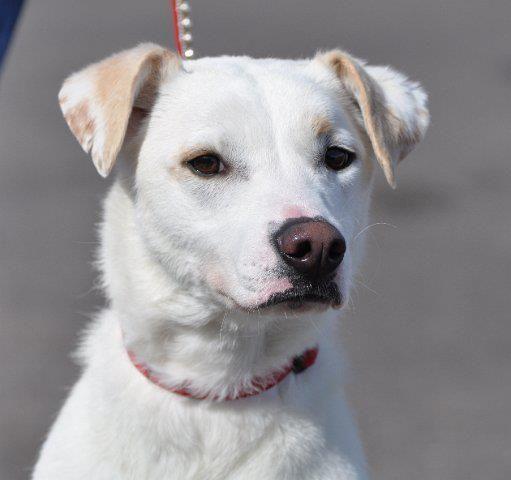 Duke's Info... Breed Labrador Retriever Mix Color White