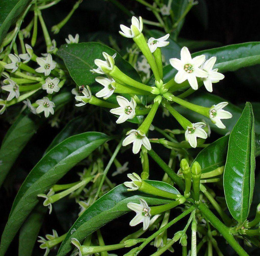 Amazon hirts night blooming jasmine plant cestrum nocturnum amazon hirts night blooming jasmine plant cestrum nocturnum 4 pot house plants patio lawn garden izmirmasajfo