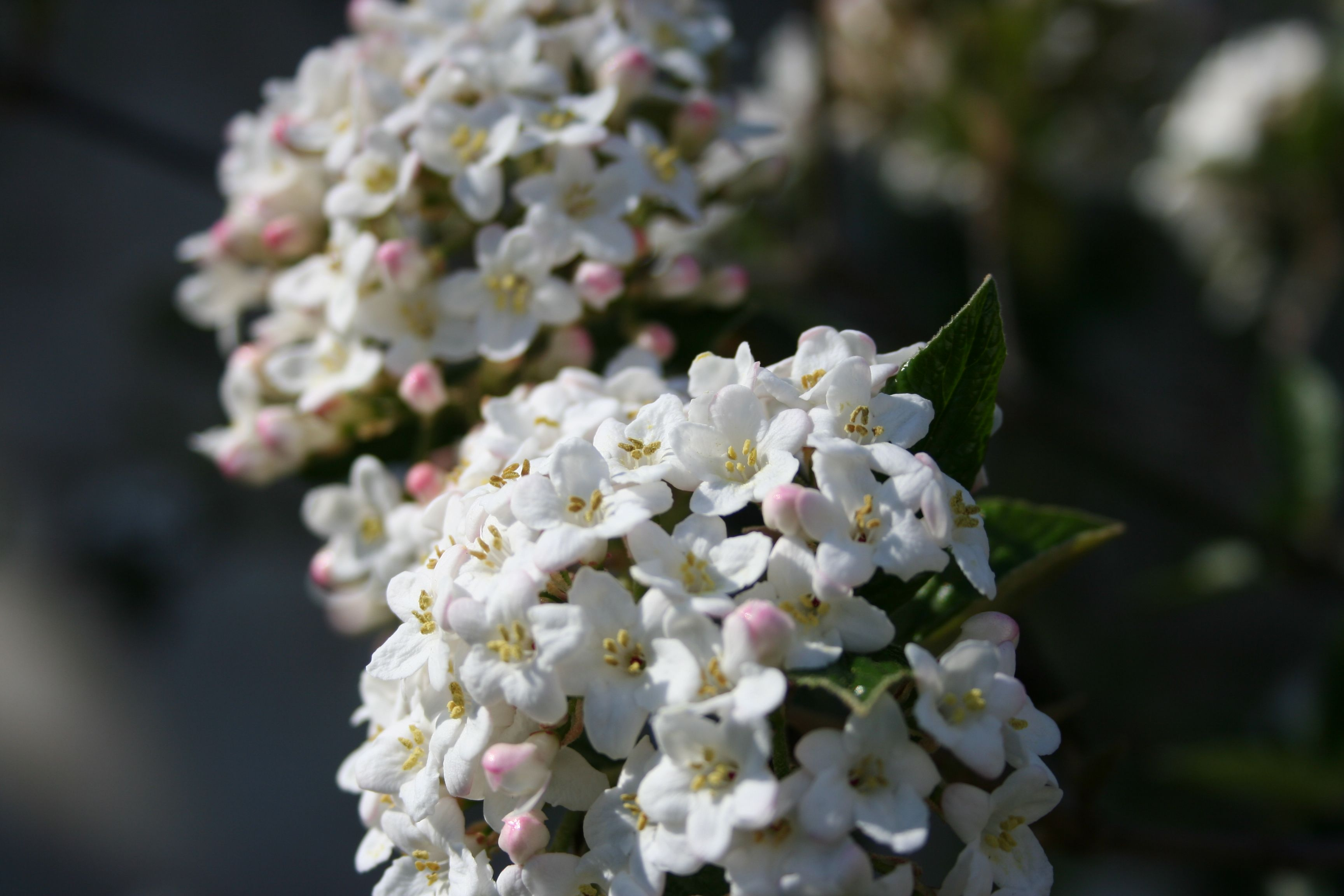 Plant of the Week 14 - Viburnum x. burkwoodii.  This delightfully fragrant evergreen shrub is widely used in the parks and open spaces of Europe and is a favourite in our garden. On a table by the front door of the Garden Design Academy, a pot of rooted cuttings is also in flower, filling the conservatory with its perfume.