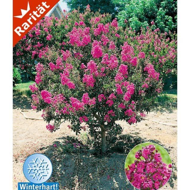 Flieder des Südens, 1 Pflanze - BALDUR-Garten GmbH Garten - pflanzen topfen kubeln terrasse
