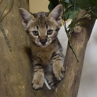 A Little Tree Time For A Kitten Savannah Kittens For Sale