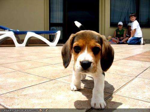 Untitled Beagle Puppy Beagle Dog Beagle