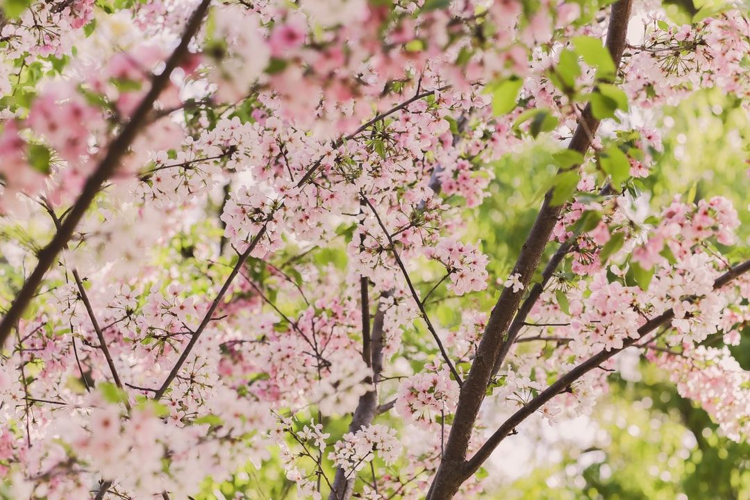 Thanks To Ra Orantes For Making This Photo Available Freely On Unsplash In 2021 Cherry Blossom Tree Cherry Blossom Flowers White Cherry Blossom