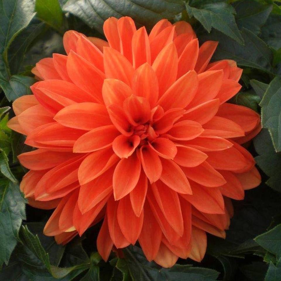 Dahlia Vibrant Orange Double Bloom Beautiful Flowers Dahlia Flower Colorful Flowers
