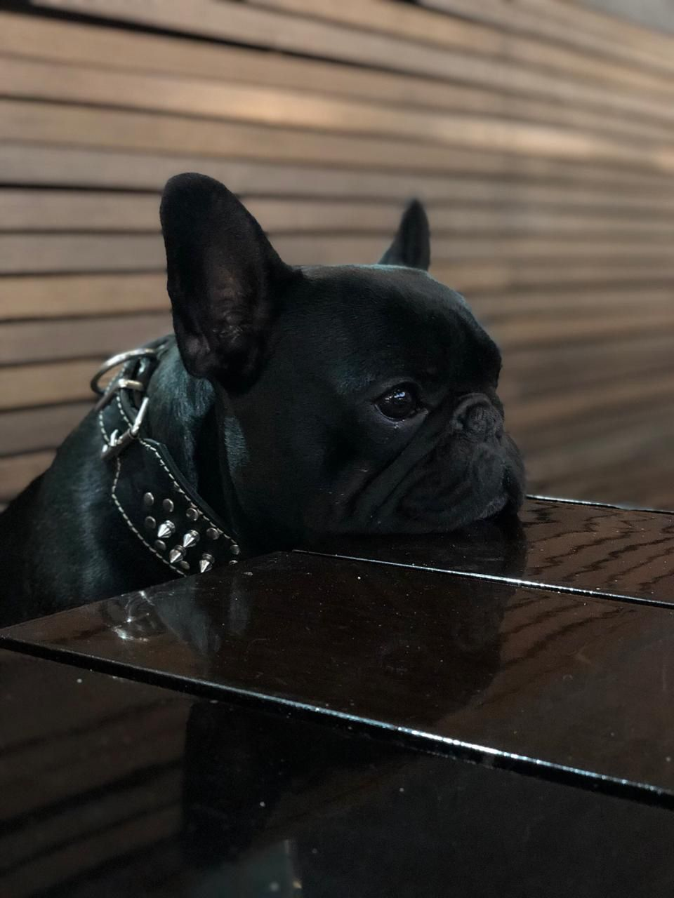 All Black Male French Bulldog Puppy French Bulldog Puppies
