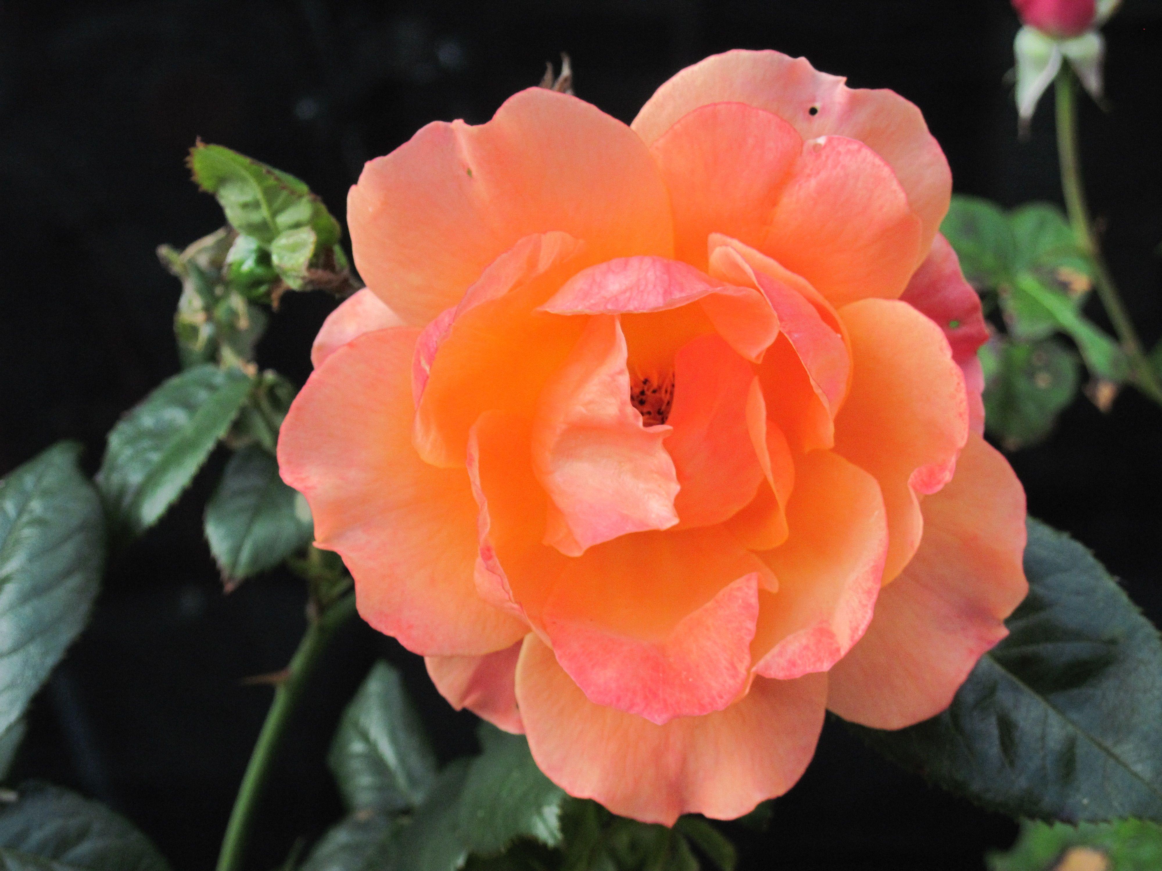 Easy Living Rose