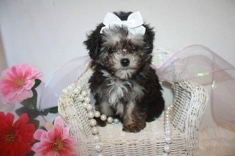 Female Maltipoo Maltese Poodle Mix Maltese Poodle Mix Poodle Mix Maltese Poodle