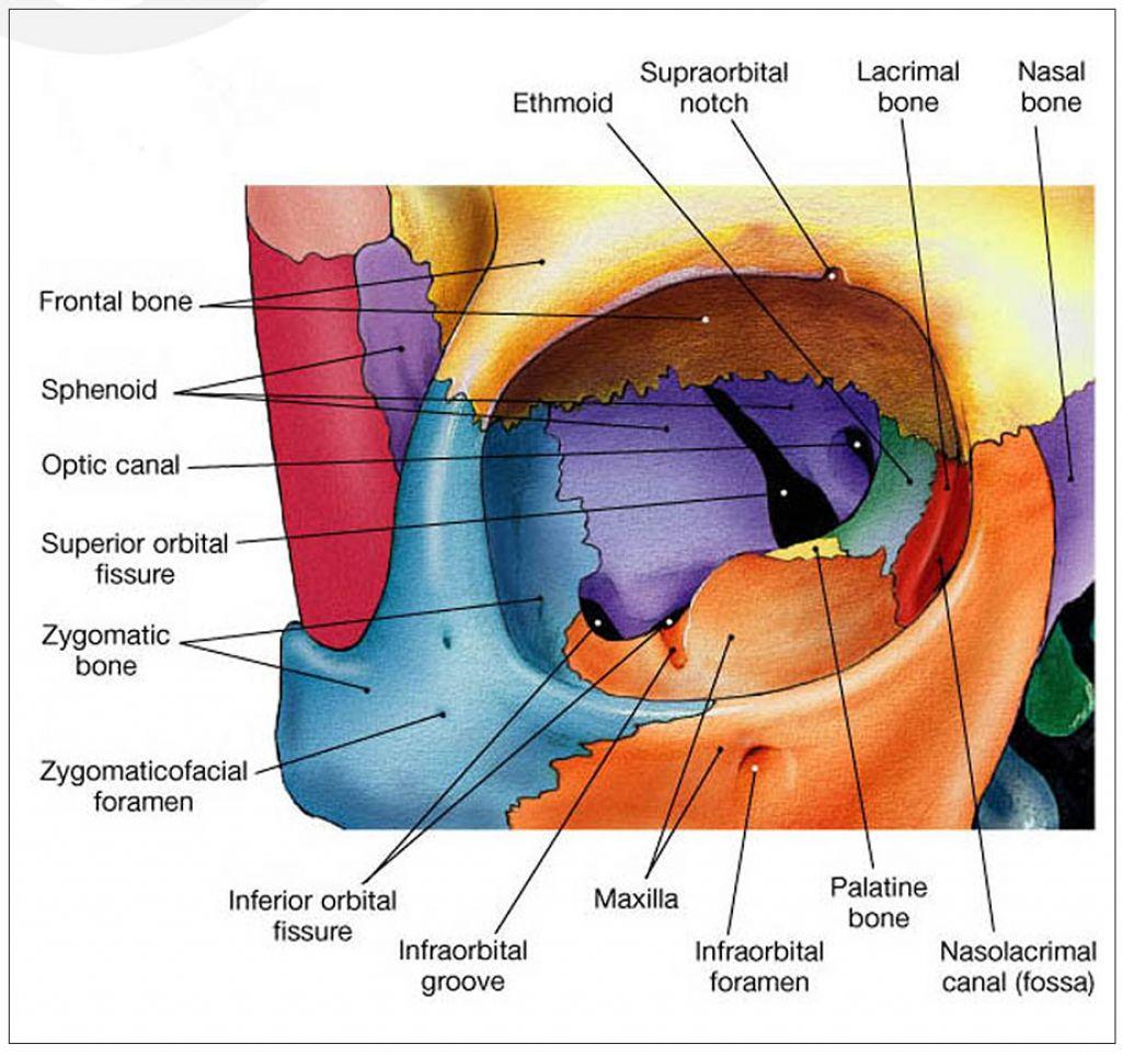 Resultado de imagen para cavidad orbitaria | Anatomy | Pinterest