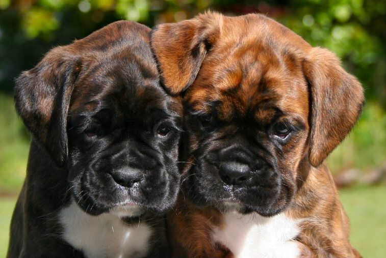 So Freaking Cute Boxer Puppies Boxer Dogs Boxer Breed