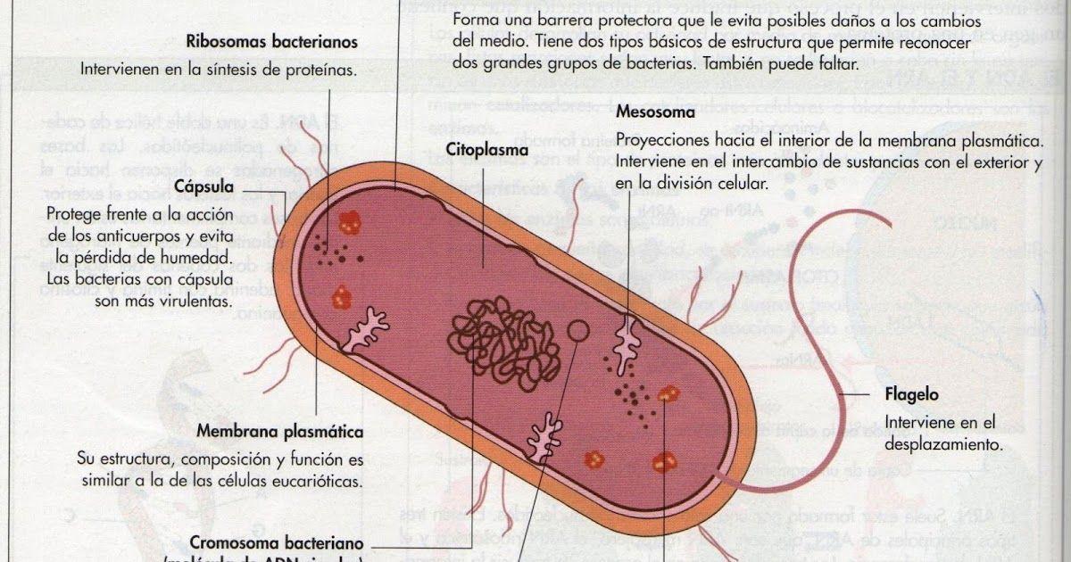 La Célula Procariota La Célula Procariota Y Eucariota Diferencias Entre Células Animal En 2021 Células Procariotas Celula Procariota Y Eucariota Procariota Y Eucariota