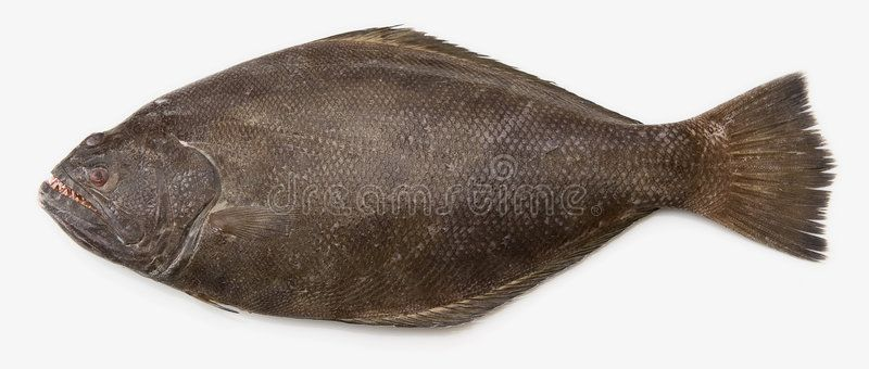 Pacific Halibut A Popular Fish Used In Fish And Chips Ad Halibut Pacific Popular Chips Fish Ad Pacific Halibut Halibut Image Of Fish