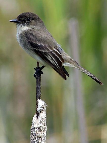 Birds Of Minnesota Google Search Yellow Finch Finches Bird Pet Birds