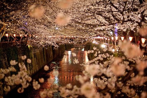 Oh Girl The Stories They Could Tell Cherry Blossom Blossom Trees Sakura Cherry Blossom