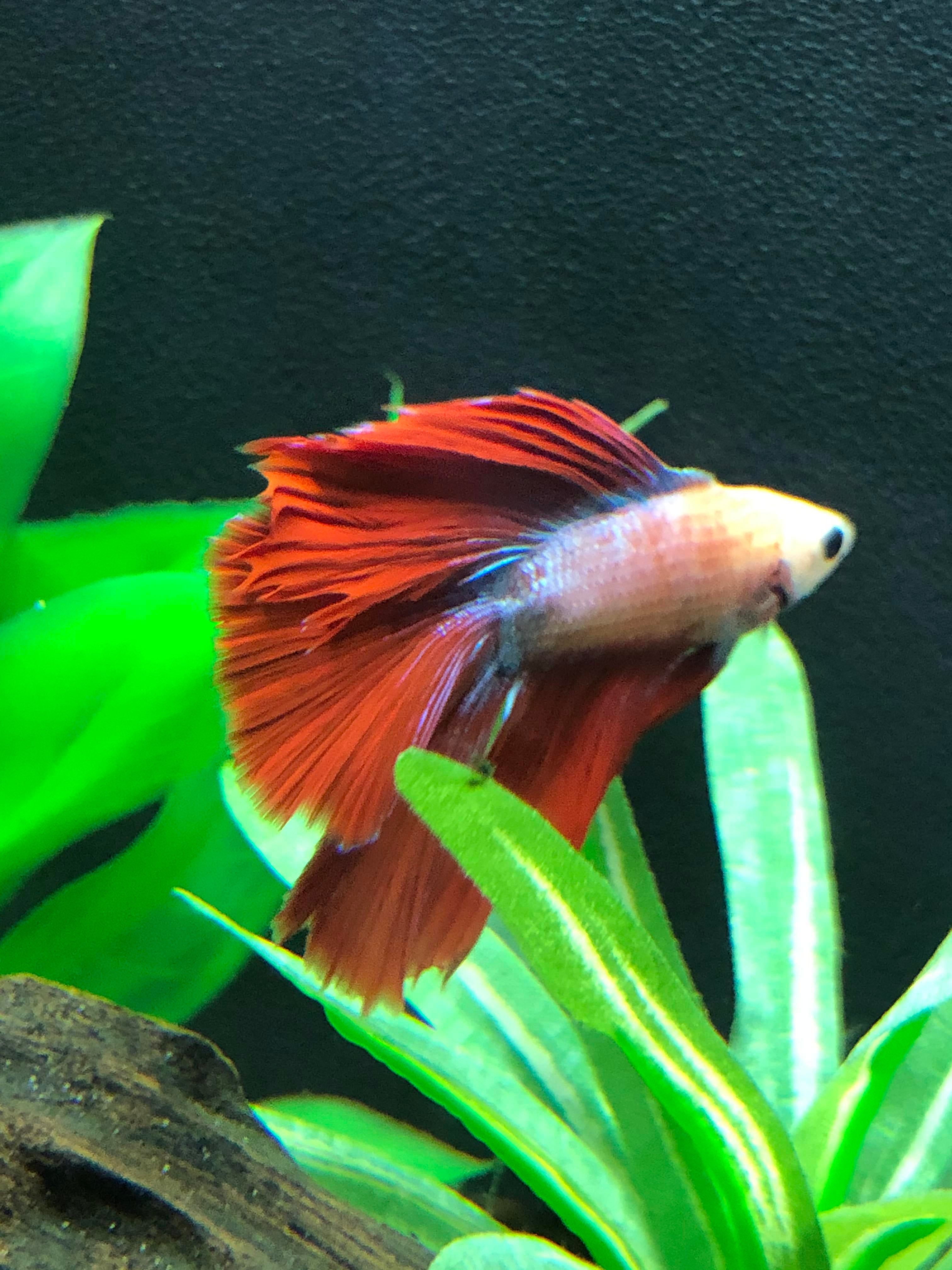 Betta Fish Is This Early Fin Rot Or Another Disease Or Am I Just Being Paranoid 7 5 Ph 300ppm Alk 25ppm Hard 0 5 Ppm Nitrites 0pp In 2020 Betta Fish Betta Fish