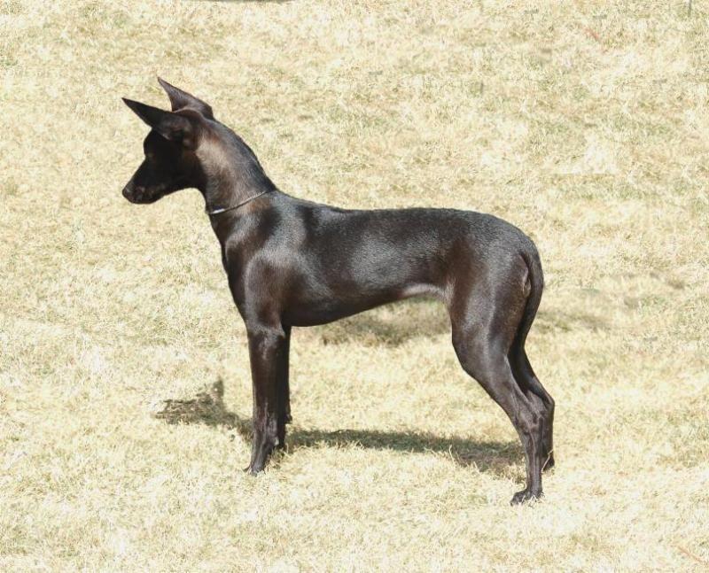 coated xoloitzcuintli for the love of dogs pinterest